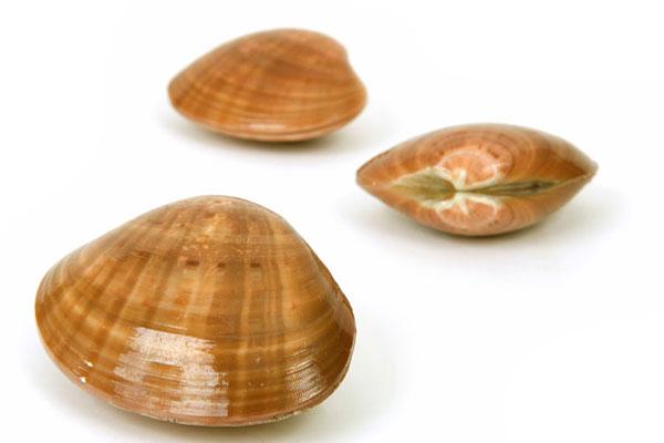 lava shells masaza
